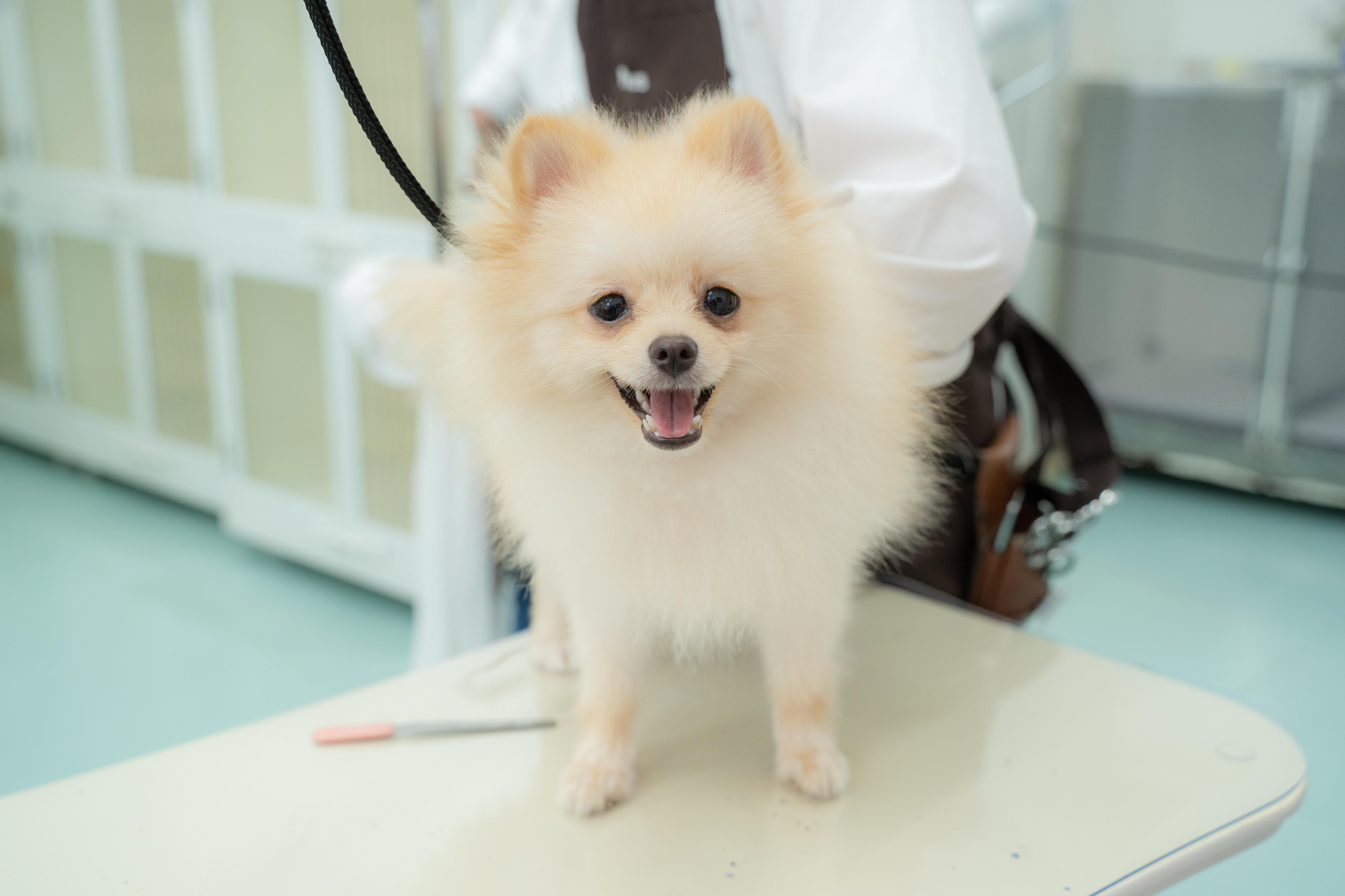 BASE犬 SASUKEちゃん / ポメラニアン